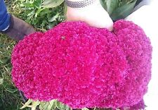 Hot NEON Purple Brain Head Celosia - 3-4 FT TALL- 25 SEEDS - Comb.S/H