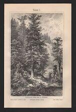 Lithografie 1909: Tanne I/II. Edeltanne (Abies alba, A. pectinata)