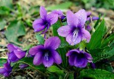 QUEEN CHARLOTTE-100 seeds - Sweet Violet,Viola philippica, Cavaniles, perenn