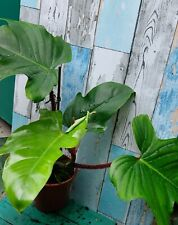 Rare Philodendron SQUAMIFERUM Red Stem Hairs Large House Plant in 10.5cm pot.