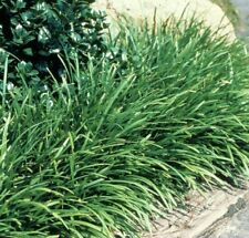 ELMARCO Liriope Muscari dwarf border grass plant in 140mm pot