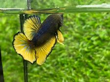 Live Betta Fish - Male - Fancy Black Yellow HMPK , Age 4 month From Thailand