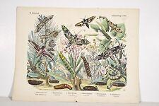 Gravure ancienne XIX° Papillons chenilles et plantes, Sphinx, histoire naturelle