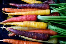 Regenbogen Mix Möhre - Rainbow Mix Karotte - 30+ Samen