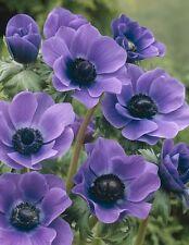 10 x BLUE ANEMONE De Caen (Mr Fokker) corms,striking blue summer/spring flowers