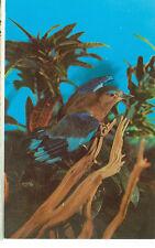 INDIAN ROLLER-INDIA-BURMA-CEYLON-BIRD HOUSE-ST.LOUIS,MISSOURI-(BIRDS-400)