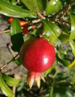 Pomegranate Punica Granatum Dwarf Live Plant 3-Inch Pot Indoor Outdoor Plant