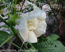 Datura Ballerina white *Engelstrompete*doppelte Blüte 15 frische Samen Balkon