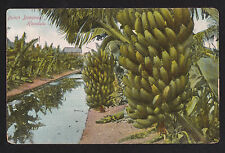 c1910 Bunches of Bananas plantation Honolulu Hawaii postcard