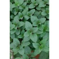 Peppermint- Mentha Piperita- 100 seeds