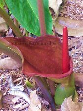 *UNCLE CHAN* Bulb of TYPHONIUM TRILOBATUM (L.) SCHOT Plant Rare Plant Bulb