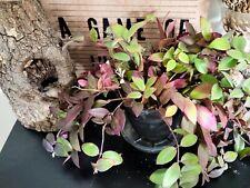 Aeschynanthus pink foliage lipstick plant philodendron anthurium