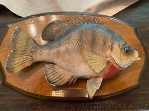 Vintage Bluegill Skin Mount With Name Plate 1989