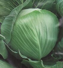 Cabbage seeds Gingerbread Man F1 from Ukraine/ late