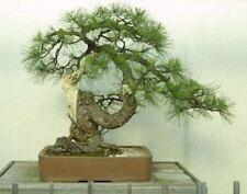 10 x Ponderosa Pine Tree semi di semi di ALBERO. che può essere utilizzato per bonsai.