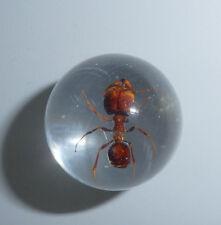 Real Big-head Ant Pheidologeton diversus Specimen Sphere 2 cm Insect Marble