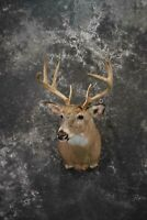 SKU 1218 Whitetail deer taxidermy shoulder mount Superior 8 Point Mature Buck