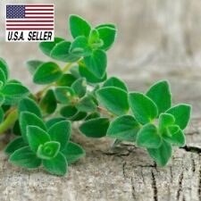 1,000 Seeds GREEK TRUE OREGANO Medicinal Perennial Herb Origanum Hirtum Heirloom