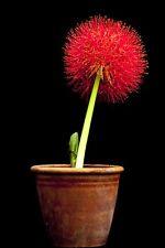 1 Bulbe Scadoxus multiflorus/Haemanthus multiflorus blood lily Bulb