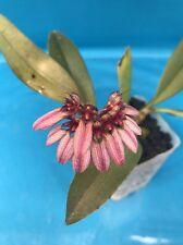 """Bulbophyllum frostii X Bulbophyllum dentiferum 2"""" Potted Division Orchid Zone"""