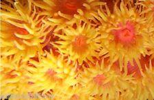 NEON SUN CORAL TUBASTREA 5-8+ POLYPS FRAG LIVE CORAL REEF ROCK DENDRO SALTWATER