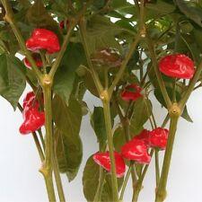 Kitchen Pepper rote Chilli mit Früchten wie kleine Pilze scharfe Chili