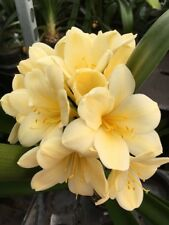 3 x Clivia miniata - Citrina YELLOW large Plugs. UK National Collection holders