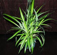 "Beautiful Hawaiian Variegated Spider Plant Nice Full 5.5"" Hanging Baskets"