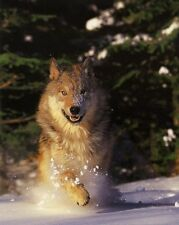 Gray Wolf Running in Snow - 8x10 In. Photo-Art Print