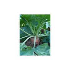 Beet Fodder Red Mammoth Great Heirloom Vegetable By Seed Kingdom 100 Seeds