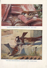 VINTAGE BIRD PRINT TREE-SPARROW BUILDING NEST ~ MALE HOUSE-SPARROW COURTING HEN
