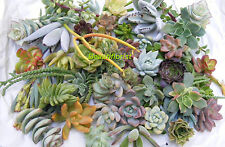 50 Assorted Succulent Cuttings Assorted Varieties