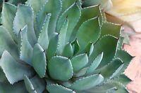 Die tolle Silber-Agave wächst in einer schönen Rosettenform  !