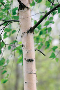 Silver Birch (Betula Pendula) TREE BARE ROOT SAPLING 3 years old 30-50cm plus.