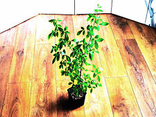 Sweet-root Corkwood ( Commiphora Neglecta ) *  PLANT  2ft tall ! *