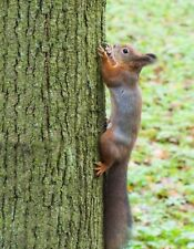 METAL MAGNET Squirrel Climbing Straight Up A Tree Squirrels MAGNET