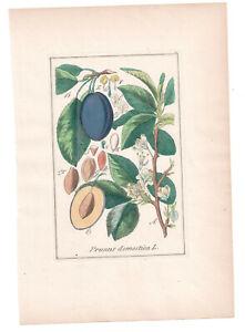 1846, Antique H/C print, Prunus Domestica, Winkler Medical Botany