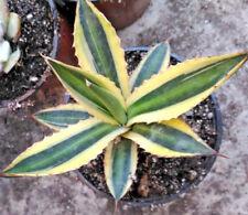 Agave lophantha var latifolia c.v. quadricolor Planta Suculenta 10 cm pot Cactus