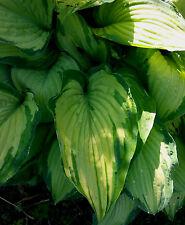 Funkie Hosta plantaginea Guacamole Schattenpflanze Sommerblüher