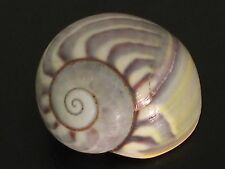 Rare...POLYMITA SULPHUROSA FLAMMULATA var. VIRIDIS Land Snail~19mm~SEASHELL