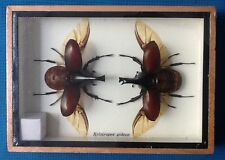 Scarab Beetle Xylotrupes Gideon Taxidermy Insect