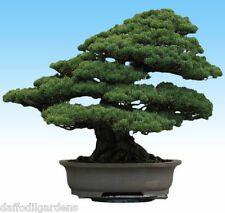 Japanese Black Pine Tree Bonsai Garden Seeds (Pinus thunbergii) 20 Seeds
