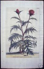 """Abraham Munting: """"Centaurium Majus Folio Cinarae,"""" 1727"""