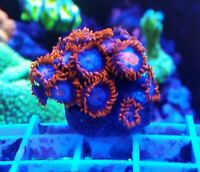 Live Coral Frag Robbie's Corals Fire and Ice Zoanthids Polyps