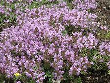 Sand Thymian 250 Samen Kriechender Sandthymian  Thymus Serpyllum Bodendecker