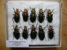 Chrysocarabus auronitens auronitens (Carabidae)