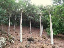 7 Semillas - Palma de Madagascar - PACHYPODIUM GEAYI - Muy Rara - Jardin Plantas