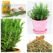 1 Pack 50 Rosemary Seeds Rare Evergreen Shrub Perennial Herb Seeds S071