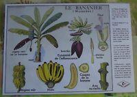 Creación Cartel escolar mantel individual Plátano Ruiseñor Musaceae Formato A3
