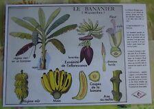 Création Affiche scolaire Set de Table Rossignol Bananier Musacées Format A3